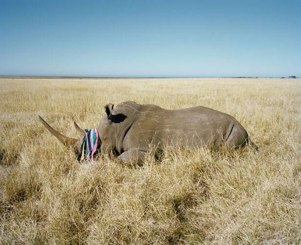 rhino with beach towel # II, game farm, northern cape, south afr